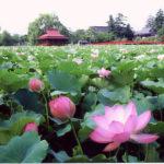 北限に観る蓮の花まつりの写真